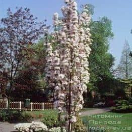 Сакура Аманогава (Вишня мелкопильчатая) (Prunus serrulata Amanogawa) ФОТО Питомник растений Природа (2)