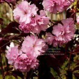 Сакура Роял Бургунди (Вишня мелкопильчатая) (Prunus serrulata Royal Burgundy) ФОТО Питомник растений Природа (1)