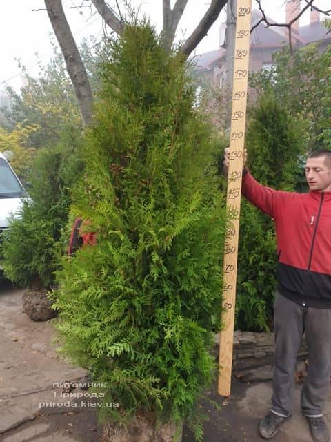 Туя западная Брабант (Thuja occidentalis Brabant) ФОТО Питомник растений Природа (62)