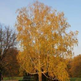 Берёза бородавчатая повислая (плакучая) (Betula pendula) ФОТО Питомник растений Природа (6)