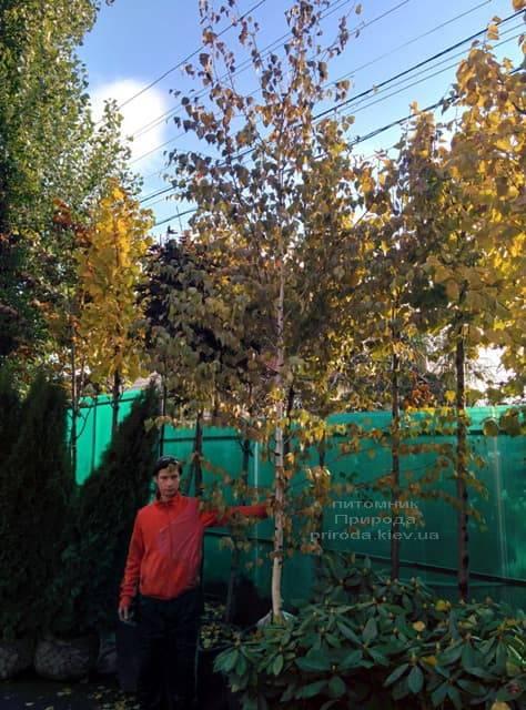 Берёза бородавчатая повислая (плакучая) (Betula pendula) ФОТО Питомник растений Природа (8)