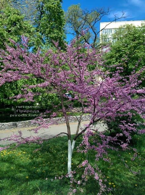 Церцис канадский (Cercis canadensis) ФОТО Питомник растений Природа (7)