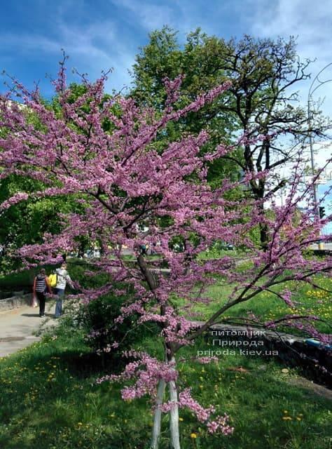 Церцис канадский (Cercis canadensis) ФОТО Питомник растений Природа (8)