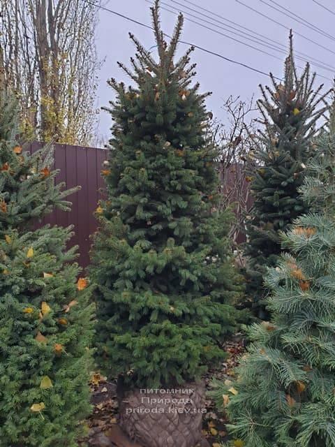 Ель колючая Глаука (Picea pungens Glauca) ФОТО Питомник растений Природа (30)