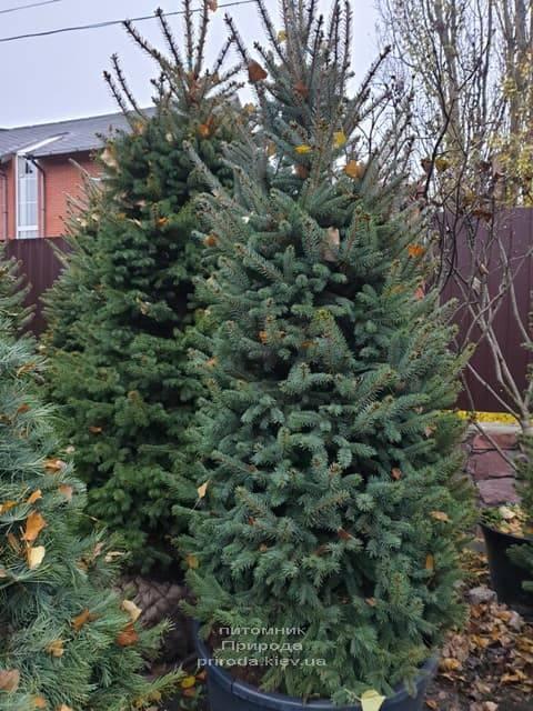 Ель колючая Глаука (Picea pungens Glauca) ФОТО Питомник растений Природа (31)