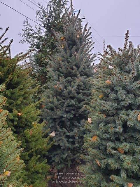 Ель колючая Глаука (Picea pungens Glauca) ФОТО Питомник растений Природа (32)
