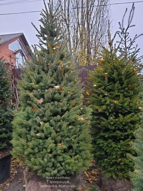 Ель колючая Глаука (Picea pungens Glauca) ФОТО Питомник растений Природа (33)