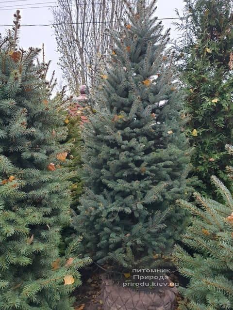 Ель колючая Глаука (Picea pungens Glauca) ФОТО Питомник растений Природа (34)