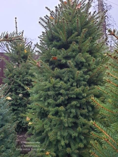 Ель колючая Глаука (Picea pungens Glauca) ФОТО Питомник растений Природа (35)