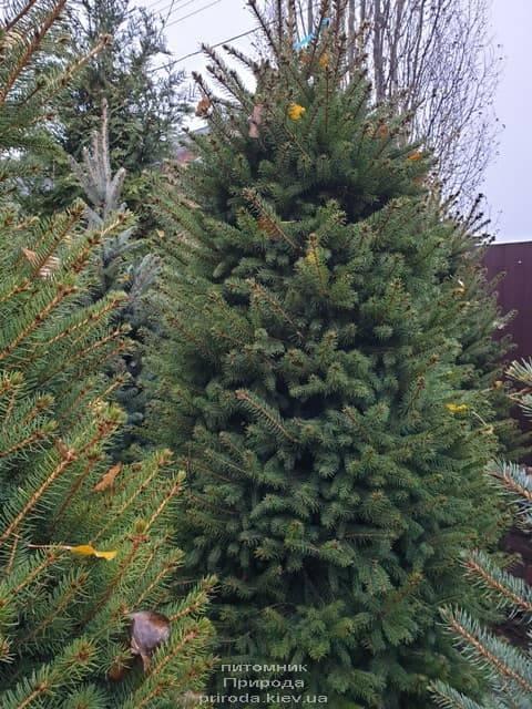 Ель колючая Глаука (Picea pungens Glauca) ФОТО Питомник растений Природа (36)