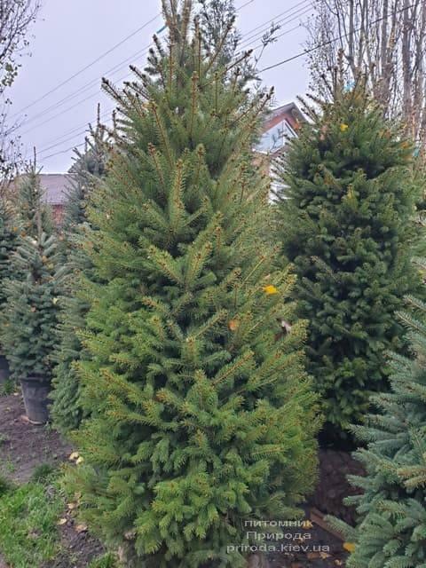 Ель колючая Глаука (Picea pungens Glauca) ФОТО Питомник растений Природа (37)