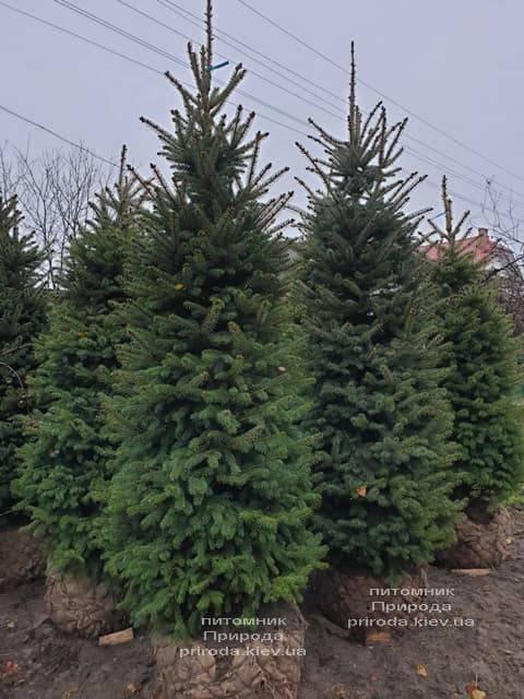 Ель колючая Глаука (Picea pungens Glauca) ФОТО Питомник растений Природа (38)