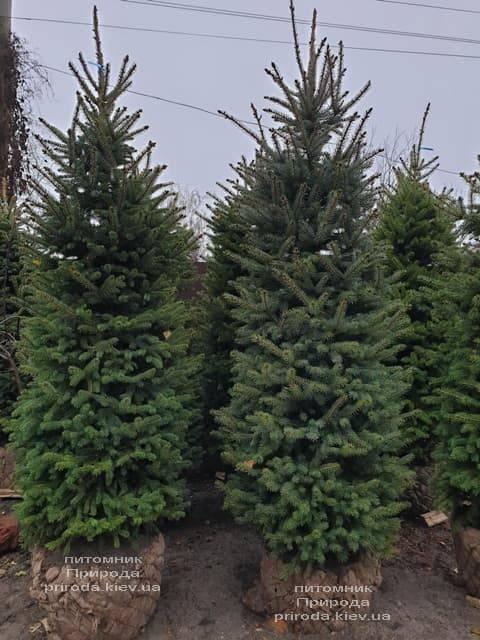 Ель колючая Глаука (Picea pungens Glauca) ФОТО Питомник растений Природа (39)