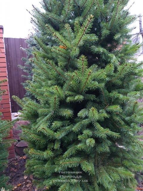 Ель колючая Глаука (Picea pungens Glauca) ФОТО Питомник растений Природа (40)