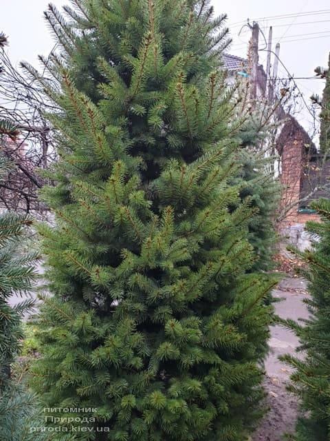 Ель колючая Глаука (Picea pungens Glauca) ФОТО Питомник растений Природа (41)