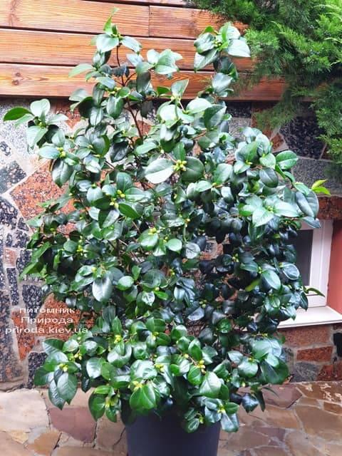Камелия ФОТО Питомник растений Природа (5)