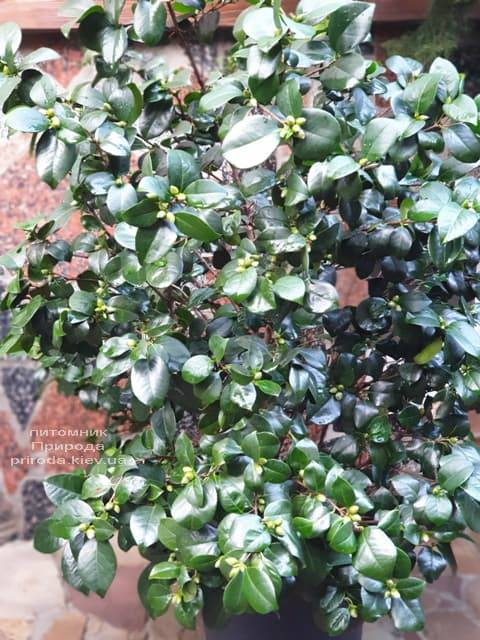 Камелия ФОТО Питомник растений Природа (6)
