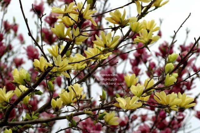 Магнолия Баттерфляй (Magnolia Butterflies) ФОТО Питомник растений Природа (1)