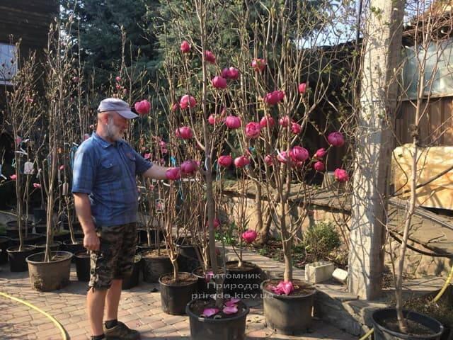 Магнолия Блэк Тюлип (Magnolia Black Tulip) ФОТО Питомник растений Природа (60)
