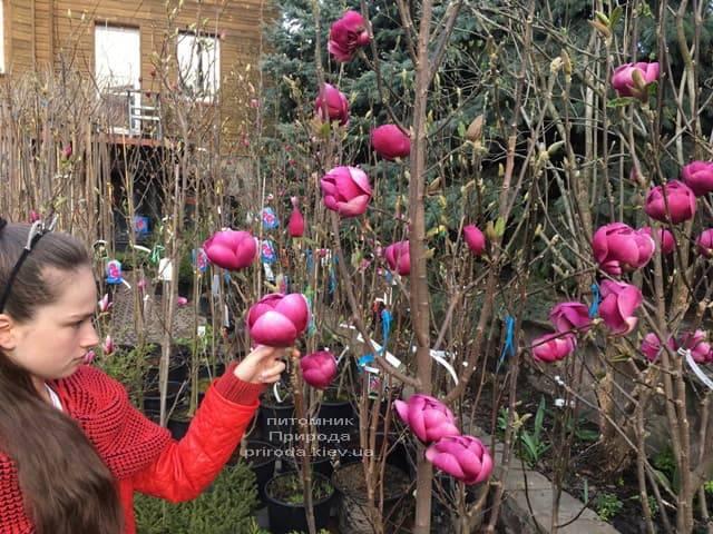 Магнолия Блэк Тюлип (Magnolia Black Tulip) ФОТО Питомник растений Природа (61)