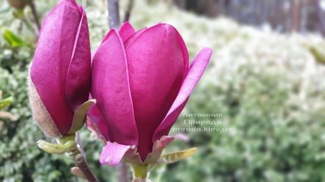 Магнолія Джені (Magnolia Genie) ФОТО Розплідник рослин Природа (31)