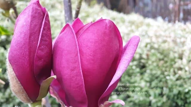 Магнолія Джені (Magnolia Genie) ФОТО Розплідник рослин Природа (34)