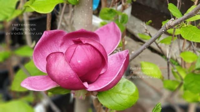 Магнолія Джені (Magnolia Genie) ФОТО Розплідник рослин Природа (36)