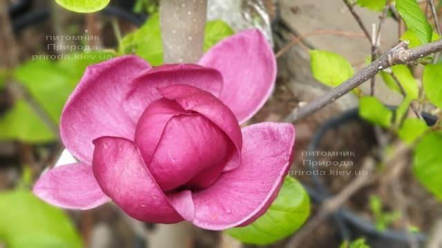 Магнолія Джені (Magnolia Genie) ФОТО Розплідник рослин Природа (37)