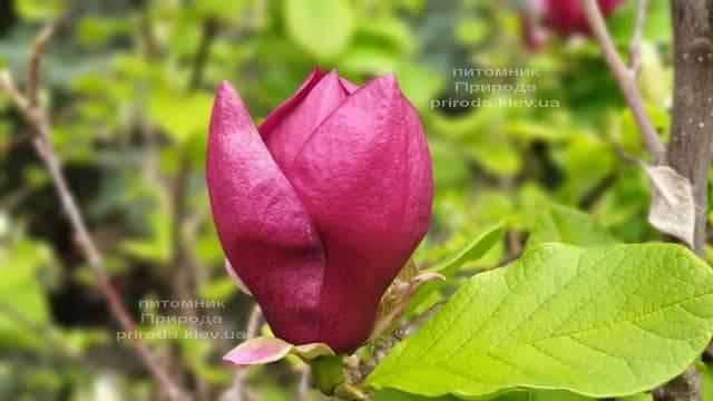Магнолія Джені (Magnolia Genie) ФОТО Розплідник рослин Природа (40)