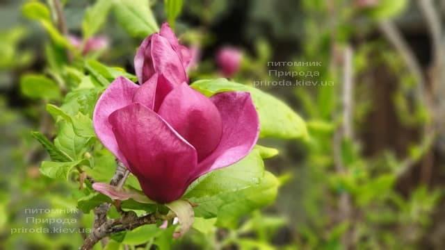 Магнолия Джени (Magnolia Genie) ФОТО Питомник растений Природа (43)