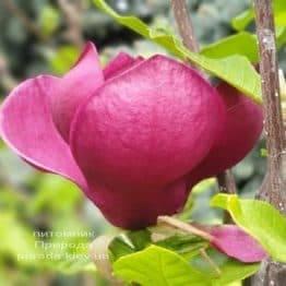 Магнолия Джени (Magnolia Genie) ФОТО Питомник растений Природа (48)
