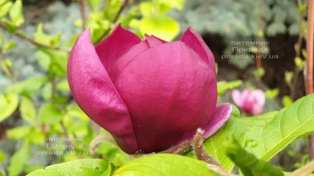 Магнолія Джені (Magnolia Genie) ФОТО Розплідник рослин Природа (49)
