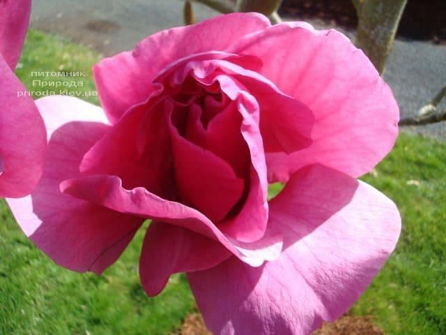 Магнолия Феликс (Magnolia Felix Jury) ФОТО Питомник растений Природа (1)
