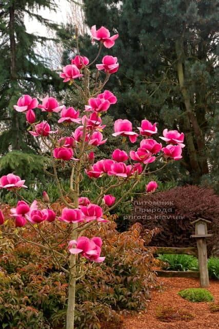 Магнолія Фелікс (Magnolia Felix Jury) ФОТО Розплідник рослин Природа (2)