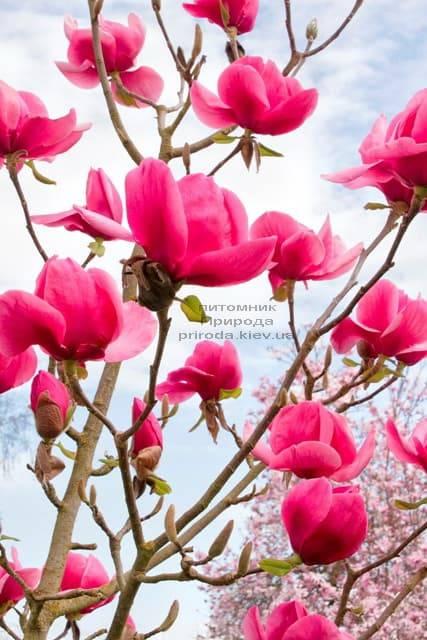 Магнолия Феликс (Magnolia Felix Jury) ФОТО Питомник растений Природа (3)