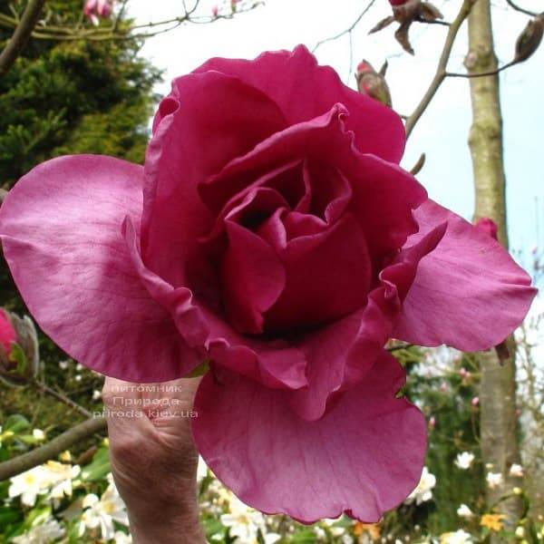 Магнолия Феликс (Magnolia Felix Jury) ФОТО Питомник растений Природа (4)