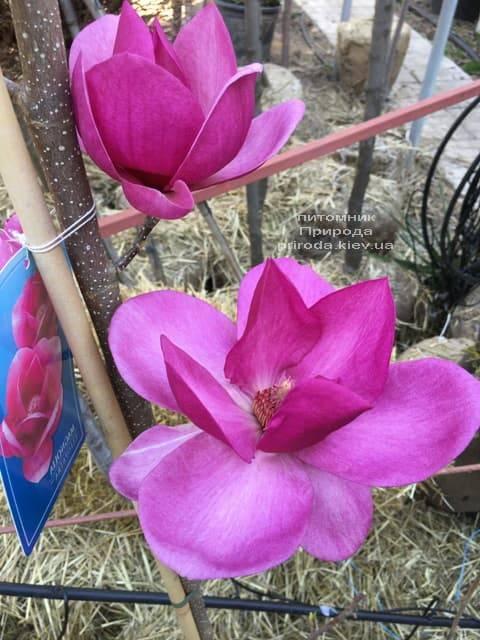 Магнолия Клеопатра (Magnolia Cleopatra Tulip) ФОТО Питомник растений Природа (3)