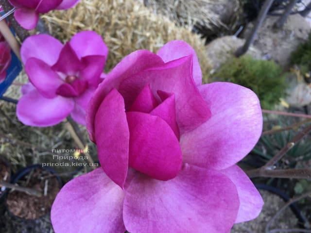 Магнолия Клеопатра (Magnolia Cleopatra Tulip) ФОТО Питомник растений Природа (4)