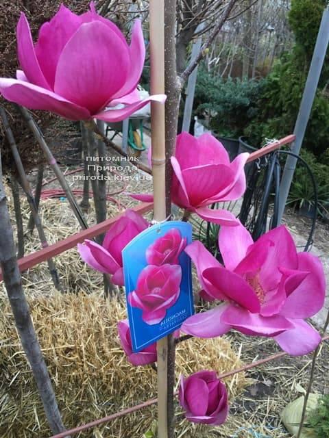 Магнолия Клеопатра (Magnolia Cleopatra Tulip) ФОТО Питомник растений Природа (9)
