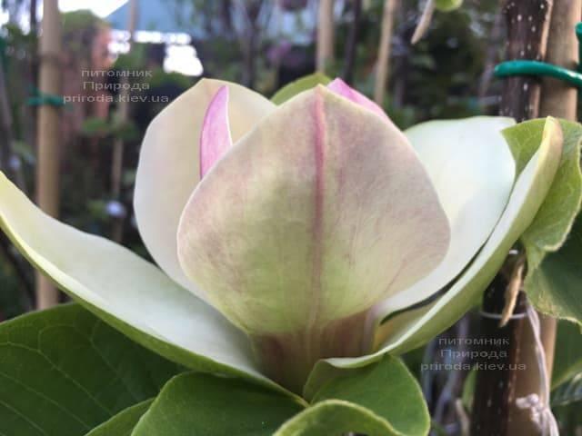 Магнолия Сенсация (Maqnolia Sunsation) ФОТО Питомник растений Природа (18)
