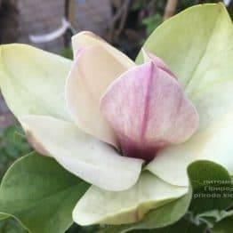Магнолия Сенсация (Maqnolia Sunsation) ФОТО Питомник растений Природа (19)