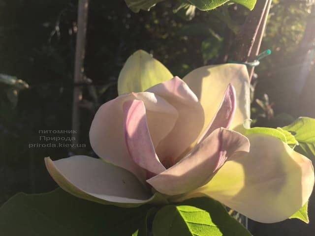 Магнолия Сенсация (Maqnolia Sunsation) ФОТО Питомник растений Природа (23)