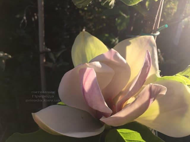 Магнолия Сенсация (Maqnolia Sunsation) ФОТО Питомник растений Природа (24)