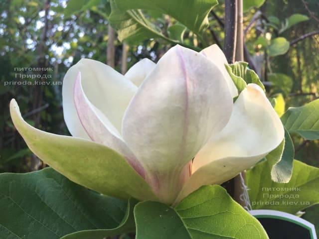 Магнолия Сенсация (Maqnolia Sunsation) ФОТО Питомник растений Природа (25)