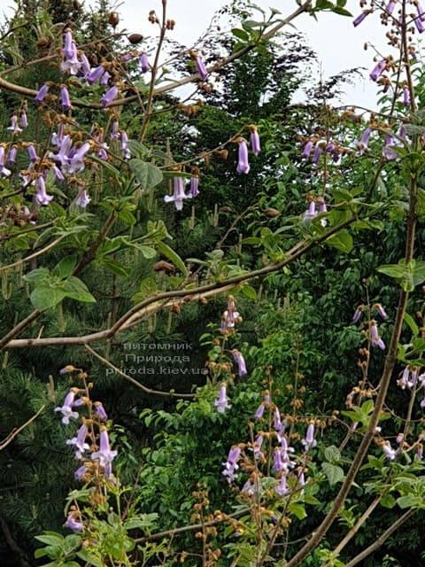 Павловнія повстяна (Paulownia tomentosa) ФОТО Розплідник рослин Природа (10)