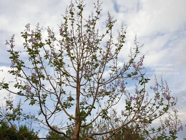 Павловния войлочная (Paulownia tomentosa) ФОТО Питомник растений Природа (11)