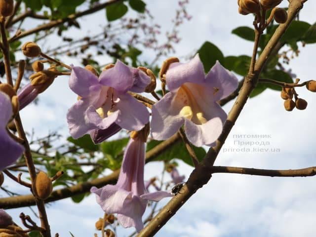 Павловнія повстяна (Paulownia tomentosa) ФОТО Розплідник рослин Природа (13)