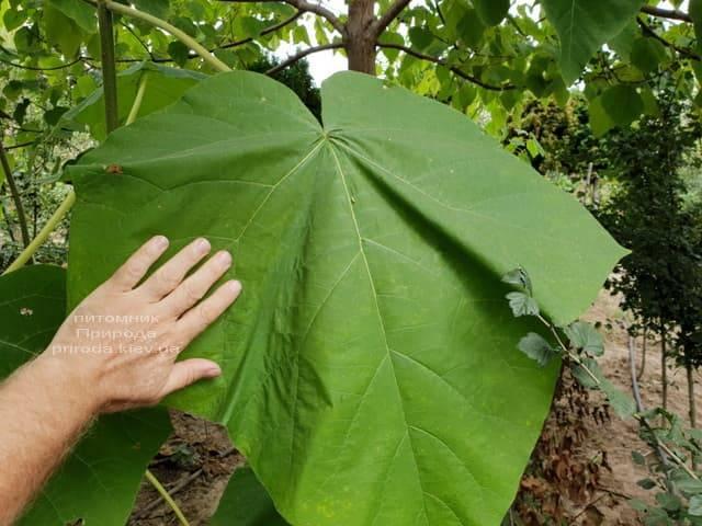 Павловнія повстяна (Paulownia tomentosa) ФОТО Розплідник рослин Природа (2)