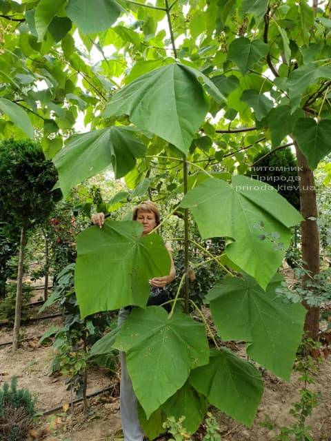 Павловнія повстяна (Paulownia tomentosa) ФОТО Розплідник рослин Природа (3)