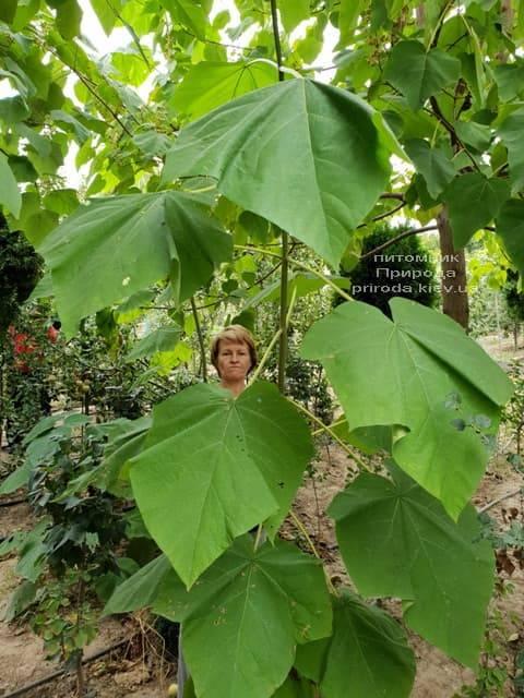 Павловнія повстяна (Paulownia tomentosa) ФОТО Розплідник рослин Природа